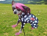 CANINE COMPRESSION ANXIETY SUIT CHINESE CRESTED